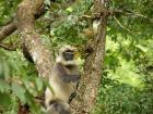 Common Langur.