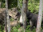 Female elephants and calf debarking a teak tree.