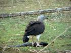 Grey Headed Fish Eagle with kill.