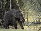 Tusker or male Asian Elephant.
