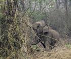 Tuskless male Asian Elephant also called Makhana.